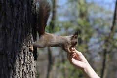 Scoiattolo che mangia alimento dalla mano umana Fotografia Stock