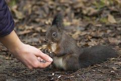 Scoiattolo che mangia dalla mano Fotografia Stock