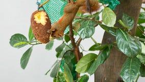 Scoiattolo che mangia giaca sull'albero archivi video