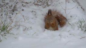 Scoiattolo che mangia le nocciole in neve stock footage