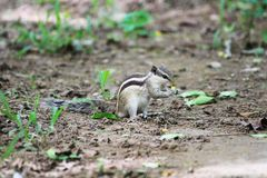 Scoiattolo che mangia le nocciole in un parco fotografia stock