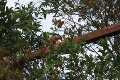 Scoiattolo che mangia mandarino Fotografie Stock