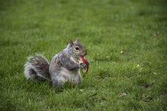 Scoiattolo che mangia mela in parco Fotografia Stock