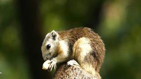 Scoiattolo che mangia nocciola in natura, video d archivio