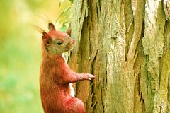 scoiattolo che mangia per l'inverno duro fotografie stock libere da diritti