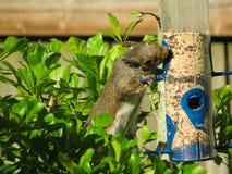 Scoiattolo che mangia seme da un alimentatore dell'uccello fotografia stock libera da diritti