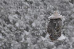 Scoiattolo che mangia in un birdfeeder Fotografia Stock