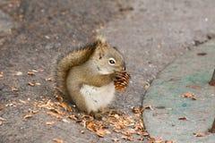 Scoiattolo che mangia un cono del pino Fotografia Stock