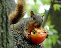 Scoiattolo che mangia un pomodoro Fotografie Stock