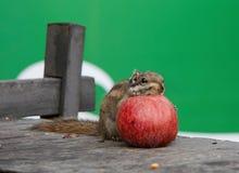Scoiattolo che mangia una mela Fotografia Stock