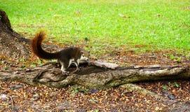 Scoiattolo che scende un albero Piccolo animale simile a pelliccia sembrante sveglio fotografia stock