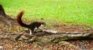 Scoiattolo che scende un albero Piccolo animale simile a pelliccia sembrante sveglio immagini stock libere da diritti