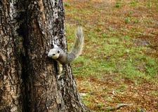Scoiattolo che scende un albero Piccolo animale simile a pelliccia sembrante sveglio fotografia stock libera da diritti