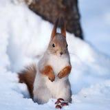 Scoiattolo che si leva in piedi sulla neve immagini stock