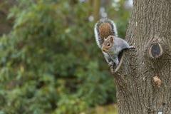 Scoiattolo che si siede su un albero Fotografie Stock Libere da Diritti