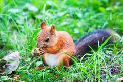Scoiattolo che si siede sull'erba e che mangia nocciola Immagini Stock