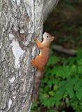 Scoiattolo che si siede in un albero Fotografia Stock Libera da Diritti