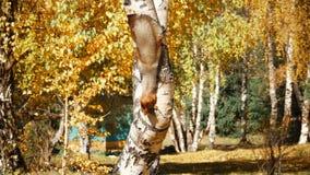 Scoiattolo che striscia sul tronco di albero archivi video