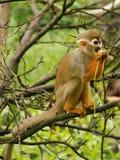 scoiattolo comune della scimmia fotografie stock