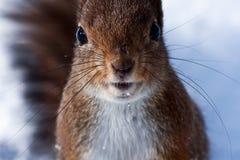 scoiattolo curioso Fotografia Stock Libera da Diritti