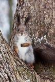 scoiattolo curioso Fotografia Stock