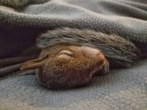 Scoiattolo del bambino che dorme sotto una coperta fotografie stock