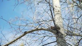 Scoiattolo della dolcezza sull'albero stock footage