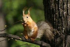 scoiattolo della filiale Immagine Stock Libera da Diritti