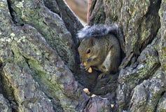 Scoiattolo di albero che mangia le arachidi Fotografia Stock Libera da Diritti