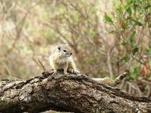 Scoiattolo di albero selvaggio, Sudafrica Immagine Stock