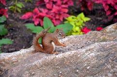 Scoiattolo di Brown che mangia su un troncone dell'albero Fotografia Stock