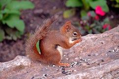 Scoiattolo di Brown che mangia su un troncone dell'albero Fotografia Stock Libera da Diritti