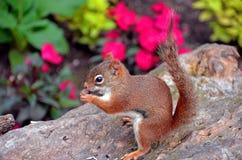 Scoiattolo di Brown che mangia su un troncone dell'albero Fotografie Stock