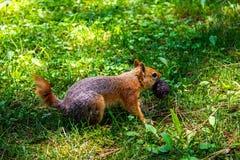 Scoiattolo di Brown con il dado su erba verde un giorno soleggiato Uno scoiattolo lanuginoso sveglio immagini stock