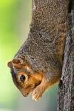 Scoiattolo di Fox orientale che mangia un'arachide Immagine Stock