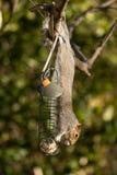 Scoiattolo di gray orientale & x28; Carolinensis& x29 dello Sciurus; mangiando sull'alimentazione dell'uccello Immagine Stock
