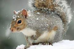 Scoiattolo di gray orientale sveglio ed adorabile in precipitazioni nevose con una tenuta in mano fino al petto Immagini Stock