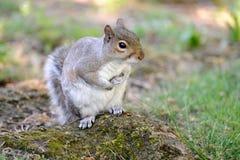 scoiattolo di seduta dello sciurus grigio di carolinensis in su immagini stock