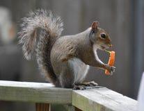 Scoiattolo di Snacking Fotografie Stock