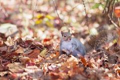 Scoiattolo e le foglie di autunno Fotografie Stock Libere da Diritti