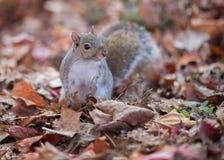 Scoiattolo e le foglie di autunno Fotografia Stock Libera da Diritti