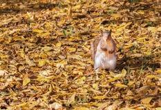 Scoiattolo e le foglie di autunno Fotografie Stock