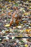 Scoiattolo ed autunno fotografia stock