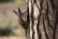 Scoiattolo euroasiatico di Brown su un albero Fotografia Stock