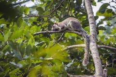 Scoiattolo gigante grigio nel parco nazionale di Mynneriya, Sri Lanka Immagini Stock Libere da Diritti