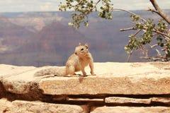 Scoiattolo in grande canyon Fotografia Stock Libera da Diritti