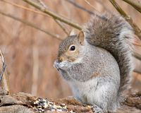 scoiattolo grigio Immagine Stock Libera da Diritti