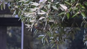 Scoiattolo grigio britannico che mangia le ghiande nell'inverno archivi video
