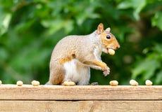 Scoiattolo grigio che mastica sulle arachidi nelle coperture Fotografia Stock