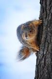 Scoiattolo grigio ed arancio su un albero che esamina direttamente la macchina fotografica Immagini Stock Libere da Diritti